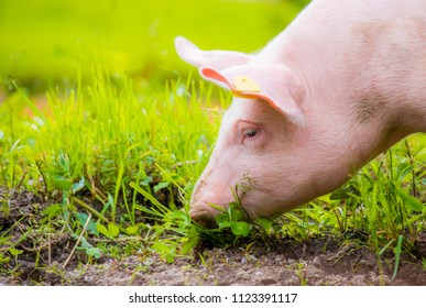 a young domestic pig eats grass in a meadow