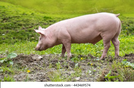 A young domestic pig running on a green meadow