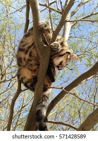 Young domestic tabby cat in a tree, biting branch