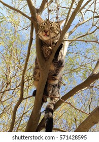 Young domestic tabby cat in a tree, looking down