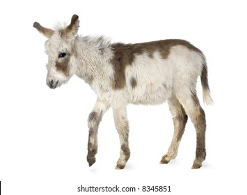 Young donkey in front of a white background