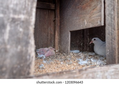 Young dove chick seen asleep in its make-shift nest box. In an opposite compartment is the mother dove keeping a watchful eye on her young.