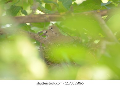 Young dove Streptopelia decaocto in nest