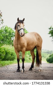 young draft gelding horse in bridle standing on road in summer