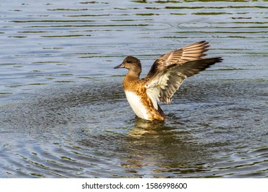Young duck learning to fly