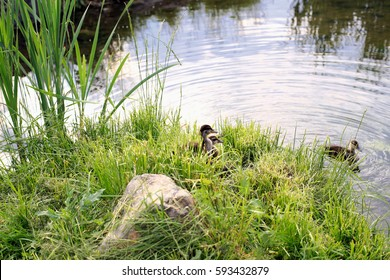 young ducklings learn to swim