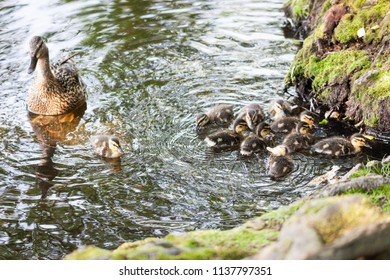 young ducklings in small lake nature