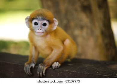 young dusky leaf monkey langur looking at camera, thailand