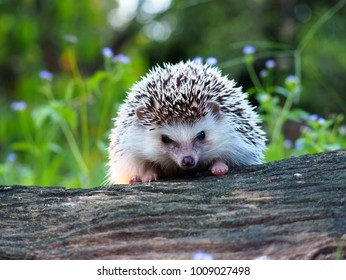 Young dwarf hedgehog in the forest, dwarf hedgehog standing on the wood Beautiful bokeh background