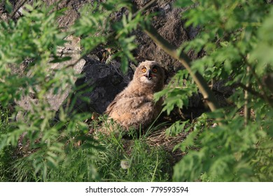 Young eagle owl, Saxony, Germany