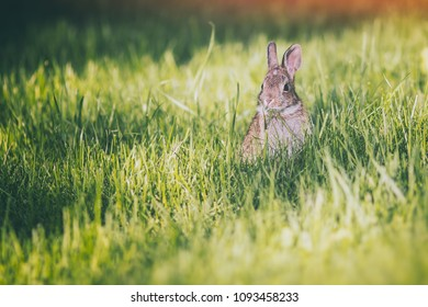 Young eastern cottontail rabbit bunny on fresh spring grass.