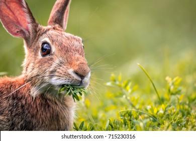 Young Eastern Cottontail Rabbit (Sylvilagus Floridanus) closeup munches on fresh greens