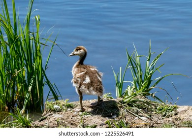 Young egyptian gosling or duckling