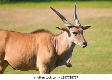 Young elan bull