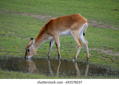 Young eland, drinking, with reflection
