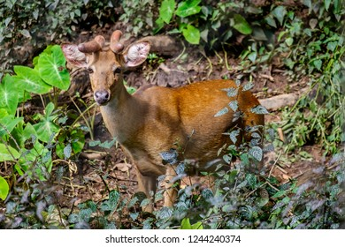 young eld's deer in forest
