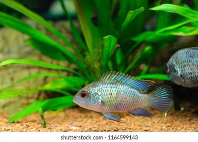 Young Electric Blue Acara Cichlid Fish (Nannacara Neon Blue) in home aquarium