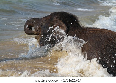 A young elefant with brown hair bathing and playing in muddy water