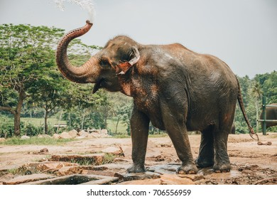 A young Elephant bathing near Kegalle in Central Province, Sri Lanka. The Sri Lankan elephant is one of three recognized subspecies of the Asian elephant, and native to Sri Lanka