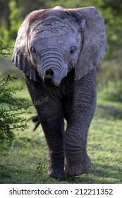 A young elephant calf