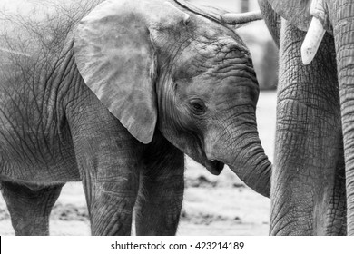 Young elephant calf drinking at mother in black and white