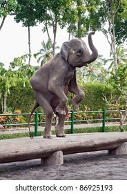 The young elephant is in the circus - Bali, Indonesia