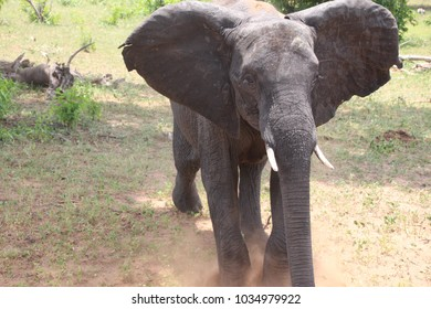 young elephant coming head on