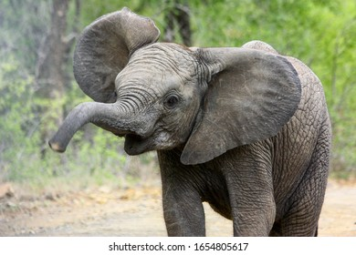A young elephant crossing the road and blowing its trunk