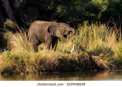 Young Elephant Drinking Water at Riverside next to older Elephant and some White Ducks