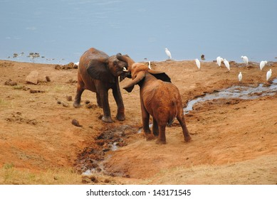 Young Elephant fight