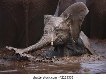 Young Elephant having fun in the water; Loxodonta Africana; Etosha