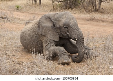 Young Elephant (loyal africana) in the bush
