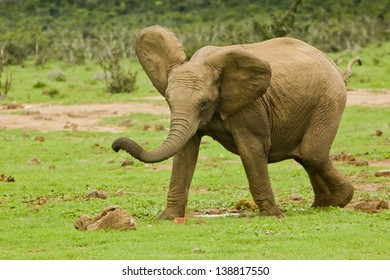 Young elephant running and playing on a large patch of grass