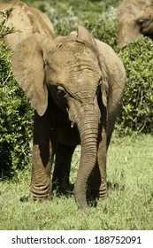 young elephant standing and eating grass away from its family