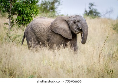 Young Elephant standing in the high grass