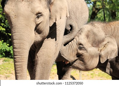 young elephant suckling
