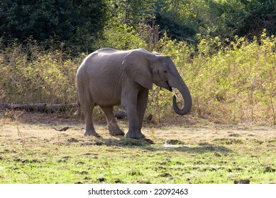 Young elephant taking a drink of water