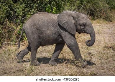 Young elephant walking beside bushes on savannah