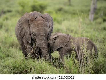 Young Elephants cuddling, Serengeti, Tanzania