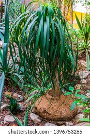young elephants foot plant in a tropical garden, popular garden and houseplant, ornamental trees