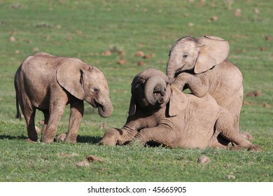 Young elephants playing games on the green African grass