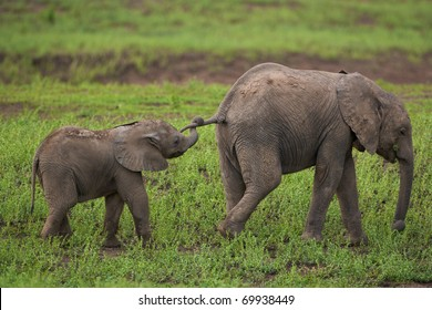 Young elephants playing, the youngest holding the tail of its sibling