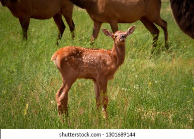 Young elk calf standing out in a grassy meadow.