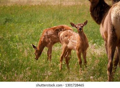 Young elk calves standing out in a meadow.