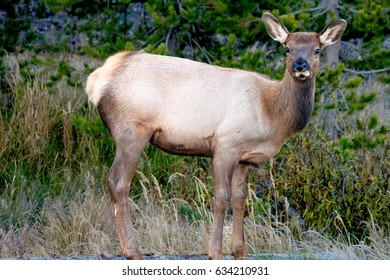 Young elk cow spotted inside Yellowstone National Park