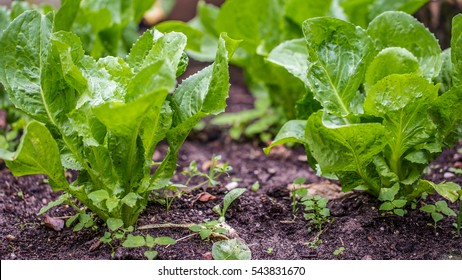 Young endive plats growing in the vegetable garden