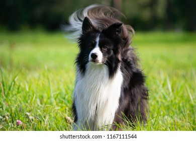 Young energetic dogs on a walk. Border Collie. Sunstroke, health of pets in the summer. How to protect your dog from overheating.