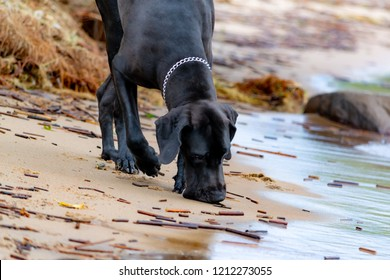 A young, energetic German Great Dane walks on the beach after a storm. The obedient pet executes commands of the owner. Harmony in communicating with animals