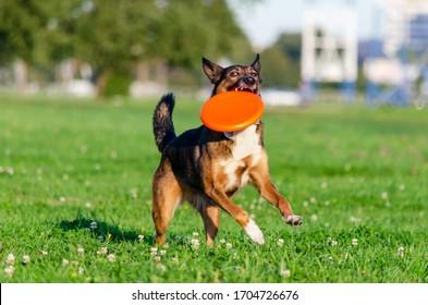 Junge energetische Halbrassen laufen auf der Wiese und spielen mit einer Plastikscheibe. Wie schützen Sie Ihr Haustier während der Sommeraktivität vor Hyperthermie?  Korrektur des Verhaltens. Sport mit einem Hund.
