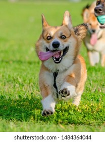 Young energetic welsh corgi pembroke is running. Corgi with a long tail. How to protect your dog from overheating. Dog is getting thirsty.